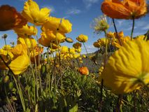 Poppies, Yellow, Flowers, Nature Stock Image