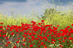 Poppies and yellow flowes. Poppies, yellow flowes and sky Stock Images