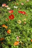 Poppies1 Royalty-vrije Stock Foto's