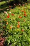 Poppies1 Stock Foto