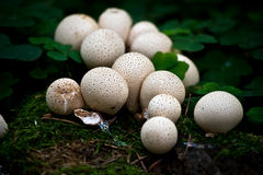 Popping Fungi Royalty Free Stock Images