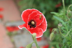Poppy(Papaver rhoeas L.). Origin of Europe, the sub-continental temperate, more than the rest of the world cultivation, Belgium as a flower. And both elegant Stock Photography