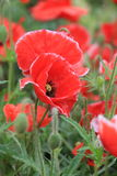 Poppy(Papaver rhoeas L.). Origin of Europe, the sub-continental temperate, more than the rest of the world cultivation, Belgium as a flower. And both elegant Royalty Free Stock Image
