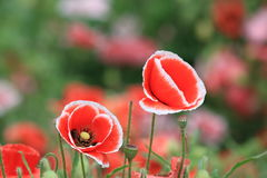 Poppy(Papaver rhoeas L.). Origin of Europe, the sub-continental temperate, more than the rest of the world cultivation, Belgium as a flower. And both elegant Stock Photos