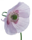 Poppy 01 Royalty Free Stock Photography