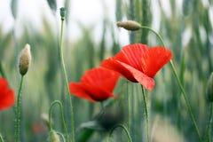 Poppy #1 Stock Photography