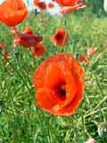 Poppy. Close up of the beautiful poppy flowers on the green field in the sunlight Royalty Free Stock Photography
