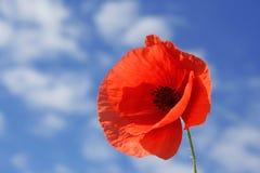 Poppy. Red poppy on background sky Royalty Free Stock Photo