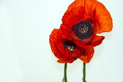 poppy Fotos de Stock Royalty Free
