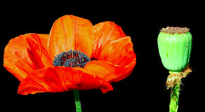Poppy. Flower and a box of -seeds. No Drugs Stock Image