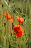 Poppy. A closeup view of a red poppy flower in a field Royalty Free Stock Photography