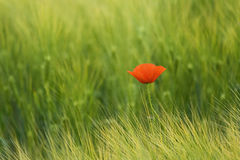 Poppy. On the green field Royalty Free Stock Image