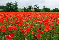 Poppy. A field of poppies in France Royalty Free Stock Photography
