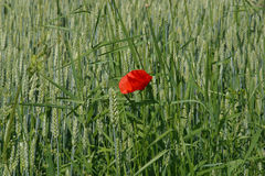 Poppy. Flower and green field Royalty Free Stock Photo