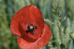 Poppy. A beautiful red poppy in June, in a field of wheat royalty free stock image