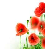 Poppy. Beautiful Poppies Border isolated on white.Selective focus stock images