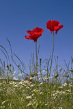 Poppy. Corn poppies in meadow against blue sky Stock Images