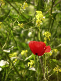 Poppy. Red poppy with green background and few oil rape seed Stock Photo