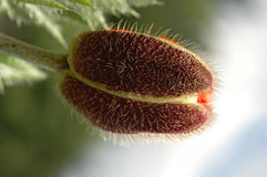 Poppy. Bud of a red poppy. It is visible each hair and a new petal Stock Images