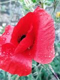 poppy imagem de stock royalty free