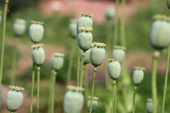 Poppy. The fruit of the opium poppy, which is occasionally a photograph of the countryside Stock Image