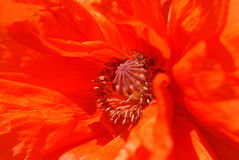 Poppy. Macro of an orange poppy Royalty Free Stock Photo