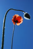 Poppy. Flower and  bud in foreground blurred stock images