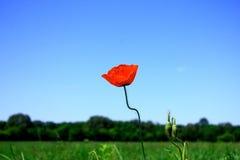 Poppy. Detail of Poppy flower on the field stock images