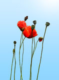 Poppy. Flowers group isolated on light blue background Royalty Free Stock Image