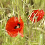Poppy. Meadow Poppy, abundant in the fields of the English countryside Royalty Free Stock Photos