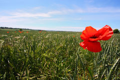 Poppy. Red Poppy in a field Royalty Free Stock Photography