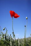 Poppy. Red Poppy in a field looking up at sky Royalty Free Stock Image