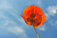 Poppy. Red poppy against blue sky Royalty Free Stock Photos