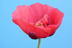 Poppy. In flower on a blue background Royalty Free Stock Photos