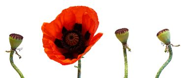 Poppy. One poppy flower with three faded ones Royalty Free Stock Photos