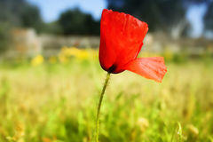 Poppy. This is a photo of red poppy in field royalty free stock photo