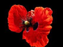 Free Poppy Royalty Free Stock Photo - 18588385