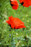 Poppy. Red colorful poppy after the rain, green background stock photo