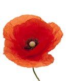 Poppy. Red single poppy with stem on white background Stock Photography