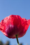 Poppy. The red petals of the common poppy, Papaver rhoeas, against a blue sky Stock Image