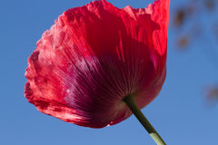Poppy. The red petals of the common poppy, Papaver rhoeas, against a blue sky Royalty Free Stock Photo