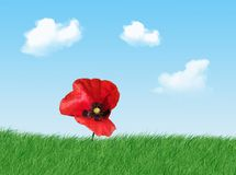 Poppy. Red poppy on the grass in a beautiful day stock photography