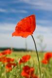 Poppy Stock Image