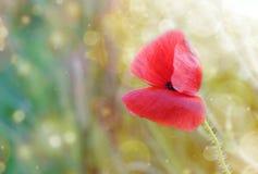 Poppy. Red poppy on windy meadow Stock Image