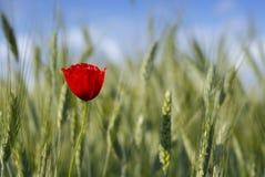 Poppy. Lone poppy in wheat field Royalty Free Stock Photography