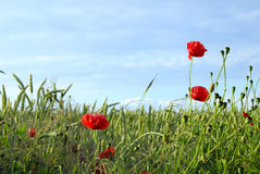 Poppy. Field with grass and poppy flowers Royalty Free Stock Images