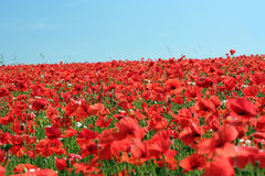 Poppy. A field of poppies in sussex England. Poppy field. Red poppies Royalty Free Stock Photos