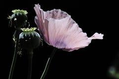 poppy Obraz Royalty Free
