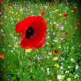 poppy Foto de Stock