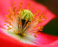 poppy Imagens de Stock